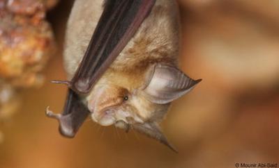 Rhinolophusblasii
