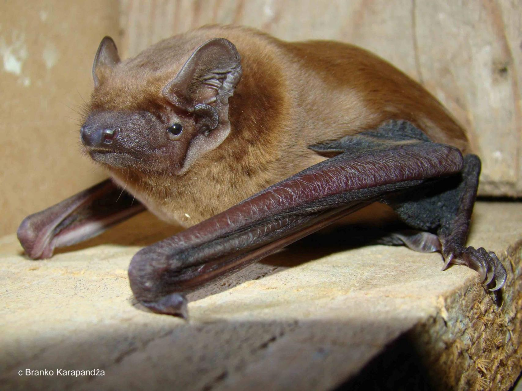Image result for Noctule